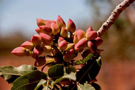 Plantas de pistacho con fruto maduro
